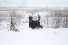 Retrato de um schnauzer gigante durante uma queda de neve no campo fotos de stock