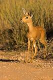 Retrato de um steenbuck imagem de stock