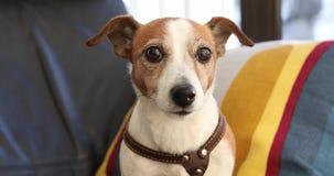Retrato de um terrier de assento de Jack Russell do cão vídeos de arquivo
