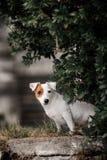 Retrato de um terrier de lã lustroso bonito de Russel do jaque foto de stock royalty free