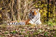 Retrato de um tigre fotografia de stock