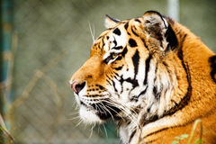 Retrato de um tigre fotos de stock royalty free