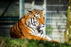 Retrato de um tigre imagem de stock royalty free