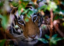 Retrato de um tigre nos arbustos. Imagens de Stock Royalty Free