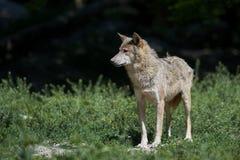 Retrato de um timberwolf Fotografia de Stock