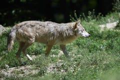 Retrato de um timberwolf Imagens de Stock Royalty Free