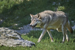 Retrato de um timberwolf Imagem de Stock Royalty Free
