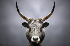 Retrato de um touro selvagem da floresta imagem de stock royalty free