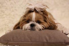 Retrato de um tzu bonito do shih do cão de cachorrinho com a curva que encontra-se em um sofá em casa fotos de stock royalty free