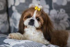 Retrato de um tzu bonito do shih do c?o de cachorrinho com a curva que encontra-se em um sof? em casa imagens de stock royalty free
