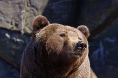 Retrato de um urso Imagens de Stock