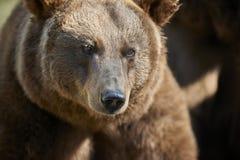 Retrato de um urso de Brown Imagens de Stock Royalty Free