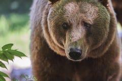 Retrato de um urso de Brown Imagem de Stock