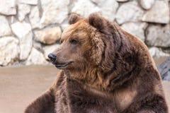 Retrato de um urso de Brown Fotografia de Stock Royalty Free
