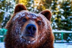 Retrato de um urso marrom acordado no inverno Foto de Stock