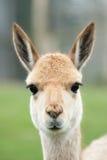 Retrato de um vicuna Imagens de Stock Royalty Free