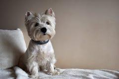 Retrato de um Westie, cachorrinho de Terrier branco de montanhas ocidentais imagem de stock royalty free