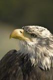 Retrato de uma águia Fotos de Stock Royalty Free