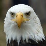Retrato de uma águia Imagens de Stock