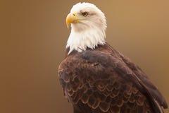 Retrato de uma águia calva Fotografia de Stock
