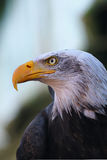 Retrato de uma águia calva Imagens de Stock Royalty Free
