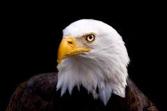 Retrato de uma águia calva americana foto de stock