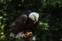 Retrato de uma águia calva (lat leucocephalus do haliaeetus) imagem de stock