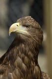 Retrato de uma águia de mar Fotos de Stock Royalty Free