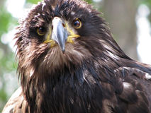 Retrato de uma águia dourada fotografia de stock