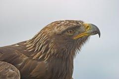 Retrato de uma águia dourada Fotos de Stock