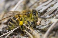 Retrato de uma abelha da floresta Imagens de Stock