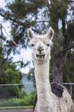 Retrato de uma alpaca Fotos de Stock