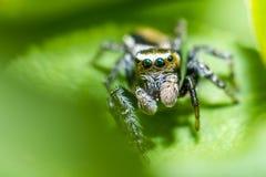 Retrato de uma aranha da zebra Imagem de Stock Royalty Free