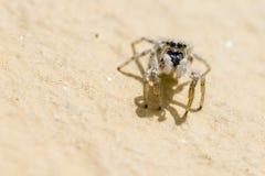 Retrato de uma aranha da zebra Foto de Stock