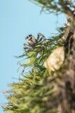 Retrato de uma aranha da zebra Foto de Stock Royalty Free