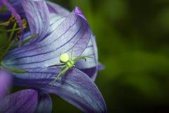 Retrato de uma aranha verde foto de stock
