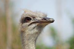 Retrato de uma avestruz imagens de stock royalty free