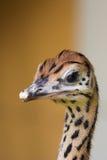 Retrato de uma avestruz foto de stock royalty free