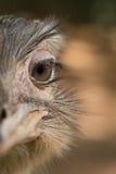 Retrato de uma avestruz Imagem de Stock