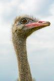Retrato de uma avestruz Fotografia de Stock