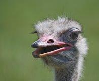 Retrato de uma avestruz (camelus do Struthio) Foto de Stock Royalty Free