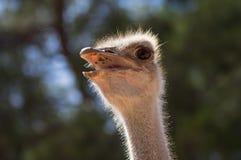 Retrato de uma avestruz imagens de stock