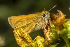 Retrato de uma borboleta Fotografia de Stock