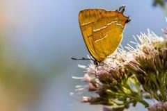 Retrato de uma borboleta Imagens de Stock