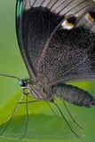 Retrato de uma borboleta Fotos de Stock Royalty Free