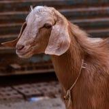 Retrato de uma cabra imagens de stock