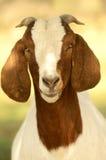 Retrato de uma cabra imagem de stock royalty free