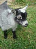 Retrato de uma cabra do pigmeu do bebê Foto de Stock