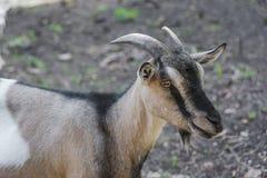 Retrato de uma cabra doméstica Imagem de Stock