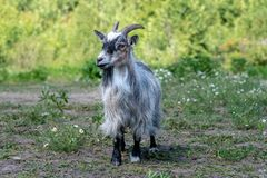 Retrato de uma cabra ou de Billy masculino fotos de stock royalty free